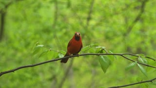 Northern Cardinal Perched in Tree close up