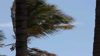 Palm Trees blow and sway from a strong Ocean Wind