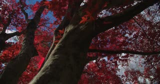 Panoramic view of a beautiful Red Maple Tree in Fall.