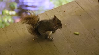 Squirrel eats fallen birdseed and looks at camera on a deck above a river