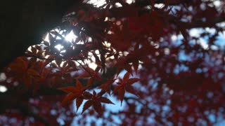 The Sun emerges to illuminate the vibrant Red Leaves of a Maple Tree in Fall