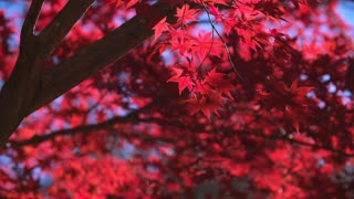 The Sun Illuminates the Blazing Red Leaves of a Maple Tree in Fall