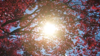 The Sun pours through vibrant Red Leaves of a Maple Tree in Fall