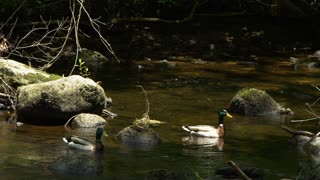 Two Mallard ducks take off in slow motion from a tranquil river