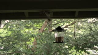 Upside down scheming Squirrel takes down and breaks a bird feeder