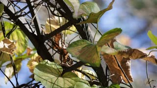 Vine leaves cling to a Wrought Iron Garden Arch in Fall