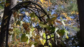 Vines and Leaves Cling to a Wrought Iron Garden Arch in Fall