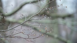Water droplets cling to the ends of branches at the start of Winter