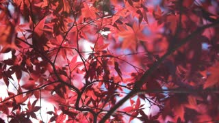 Wind flutters the vibrant Red Leaves of a Maple Tree in Fall