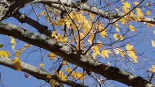 Yellow leaves cling to barren branches towards the end of Fall