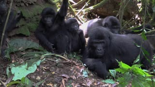Young Gorillas swing vines around thier family