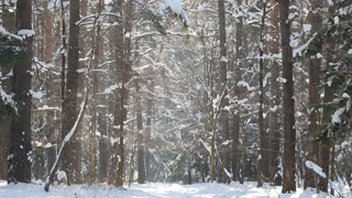 beauty forest in winter