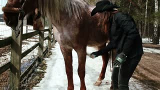 girl cowboy cleans horse with a brush