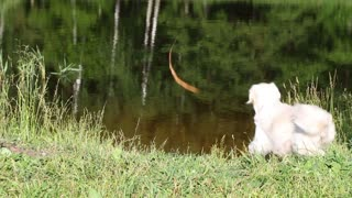 Golden Retriever pulls the stick out of the river