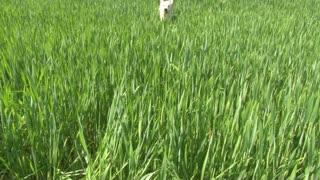 Golden retriever running on the green field