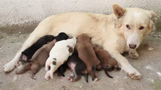 stray dog pups breast feeding