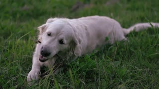 a happy golden retriever gnaws a wand on a green glade