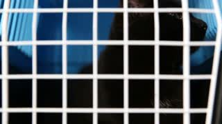 cruel treatment of domestic pets. A black cat sits in a cage in a nursery for abandoned animals.