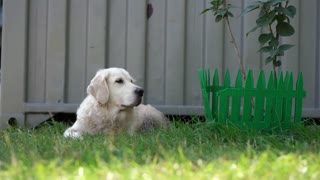happy life of pets - beautiful well-groomed thoroughbred dog resting on the grass in the courtyard of the house