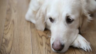 happy life of pets in the family. a happy full-bodied dog, a golden retriever is resting, lying on the kitchen floor.
