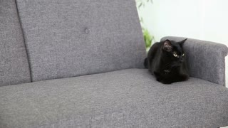 life of domestic pets. black cat is resting at home in the living room on a gray sofa.