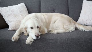 life of domestic pets in the family. A beautiful golden retriever is resting on the couch. loneliness in anticipation of the hosts.