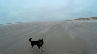 Dog playing on the Beach of Amrum in Germany