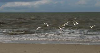 Birds  with Rainbow on North Frisian Island Beach of Amrum in Germany
