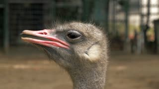 Close-up view of ostrich head in zoo, blured background