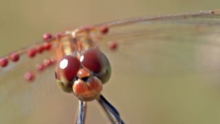 Dragonfly demonstrates jaw and swinging in the breeze