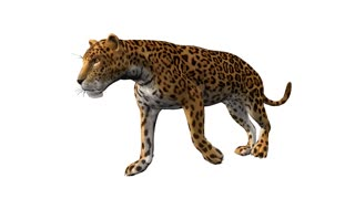 leopard walking,loop, animation, Alpha channel