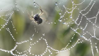 Slow Motion,spider drags its prey on a web with dew