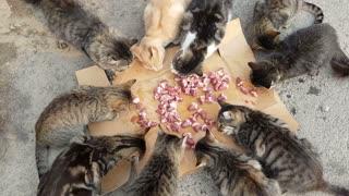 several homeless cats eats cats food