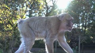apes. monkey. chimpanzee. wildlife animals nature. slow motion
