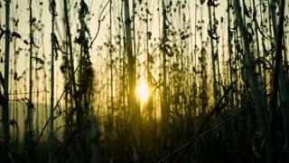 blurry blurred background. nature agriculture. corn grass field