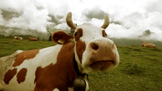 close up of cow on grass field - milk cow  - farming farm - country side