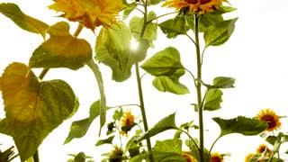 colorful flower background - nature plants - sun light - sun flowers