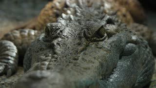 crocodile amphibian animals. crocodile skin. close up