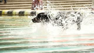 dog playing in water. slow motion of black dog running trough water