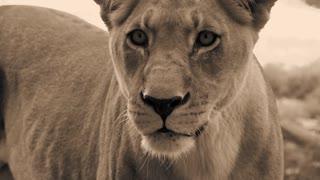 female lion in slow motion
