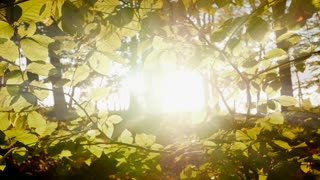 forest trees woods scenery. leaves branches. sunbeam light. into the sun