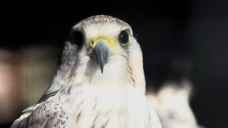 hawk head close up. bird. slow motion. animals