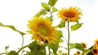 slow motion - sun flowers - colorful flower background - nature plants