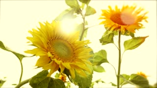 sun flowers - colorful flower background - nature plants - sun light