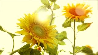 sun flowers - colorful flower background - nature plants - sun light