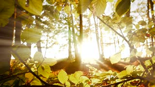 sun light shining through tree branches. sunbeam light effect. forest background