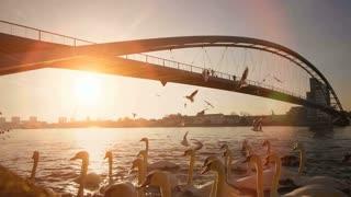 swan birds swimming on river. bridge landscape panorama