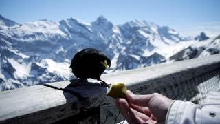 winter vacation. black birds. feeding. tourist tourism. mountain landscape.