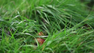 Apples falling on the wet grass, slow motion shot at 480fps