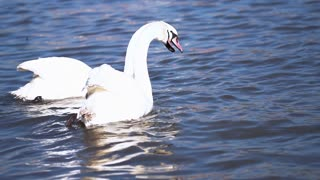 Beautiful swans swimming in the river, steadycam shot, slow motion shot